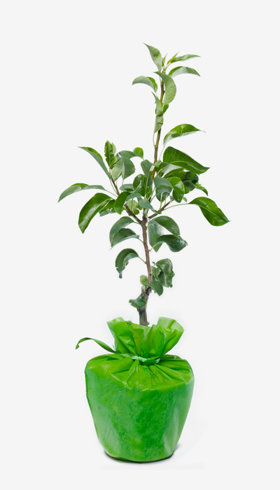 vente achat ginkgo biloba offrir un arbre de longue vie. Black Bedroom Furniture Sets. Home Design Ideas